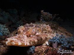 Crocodile fish (Cymbacephalus beauforti) - Banta island, ... by Marco Waagmeester 